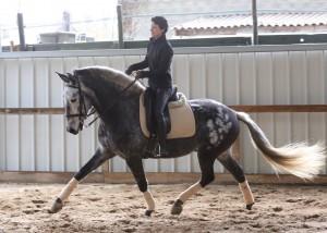 Bocador La Goudelie, 7 ans, hongre, après une première saison de concours en 2017couronnée de succès,  poursuit sa progression et aborde les changements de pieds au galop sous la seule de Fanny Lerpinière. Disponible à la vente.
